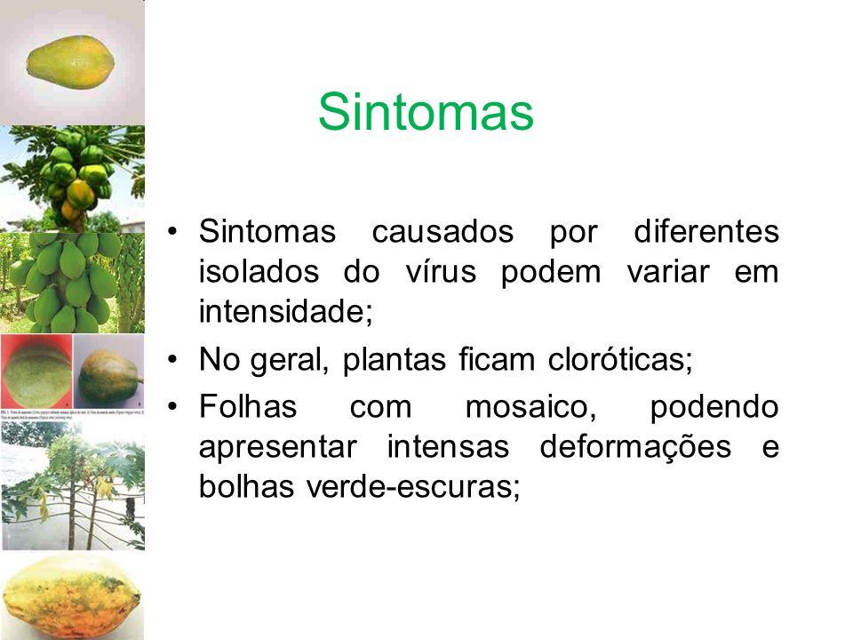 Sintomas Sintomas causados por diferentes isolados do vírus podem variar em intensidade; No geral, plantas ficam cloróticas; Folhas com mosaico, poden