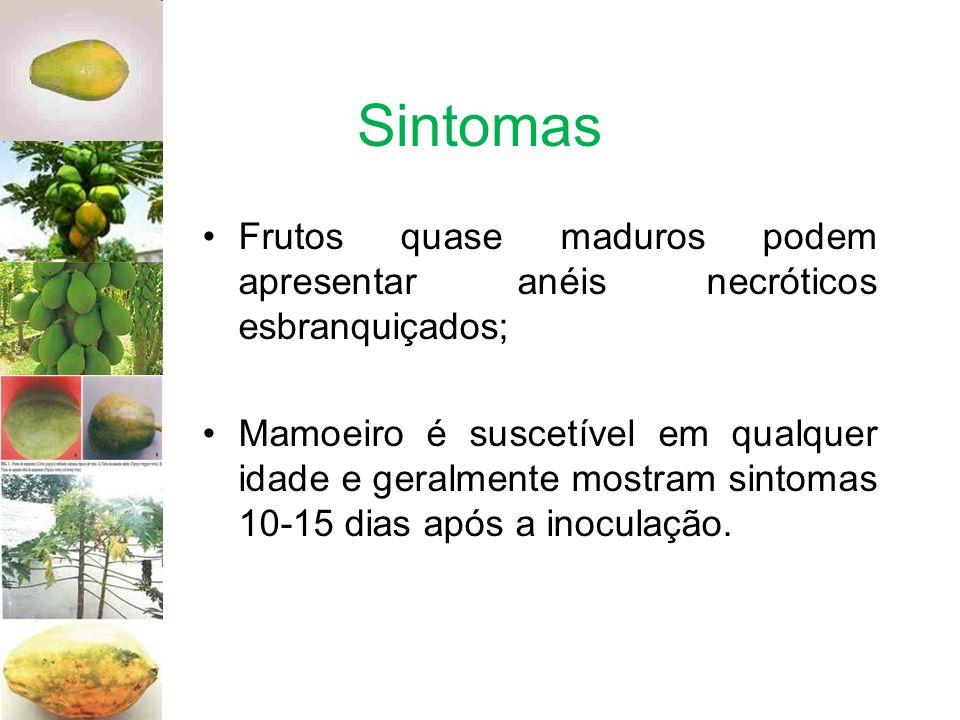 Sintomas Frutos quase maduros podem apresentar anéis necróticos esbranquiçados; Mamoeiro é suscetível em qualquer idade e geralmente mostram sintomas