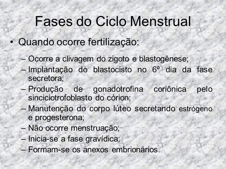 Fases do Ciclo Menstrual Quando ocorre fertilização: –Ocorre a clivagem do zigoto e blastogênese; –Implantação do blastocisto no 6º dia da fase secret
