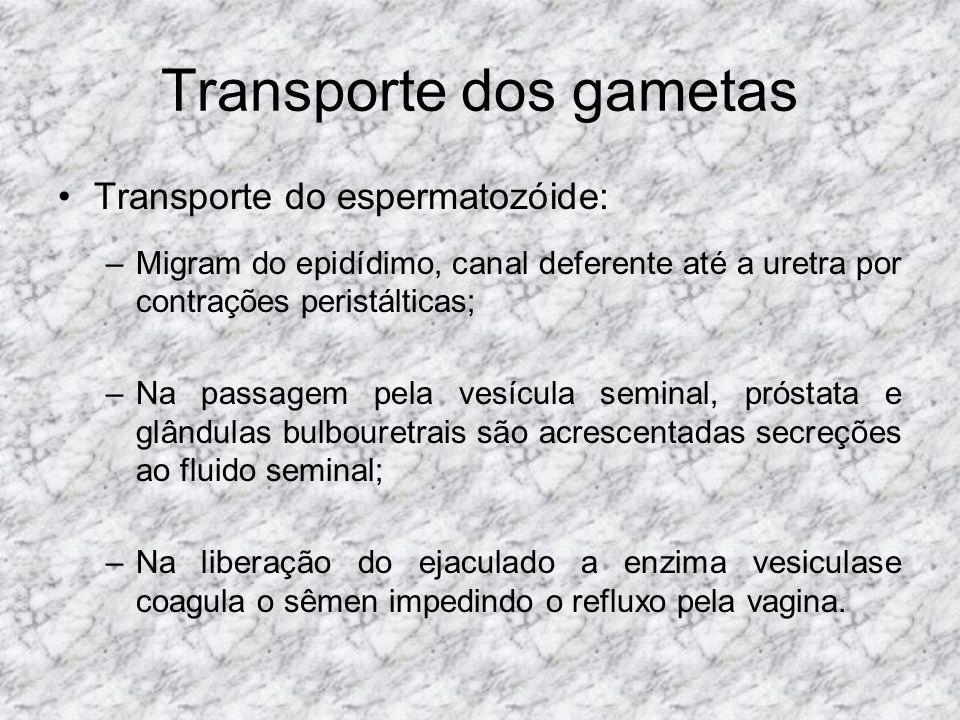 Transporte dos gametas Transporte do espermatozóide: –Migram do epidídimo, canal deferente até a uretra por contrações peristálticas; –Na passagem pel