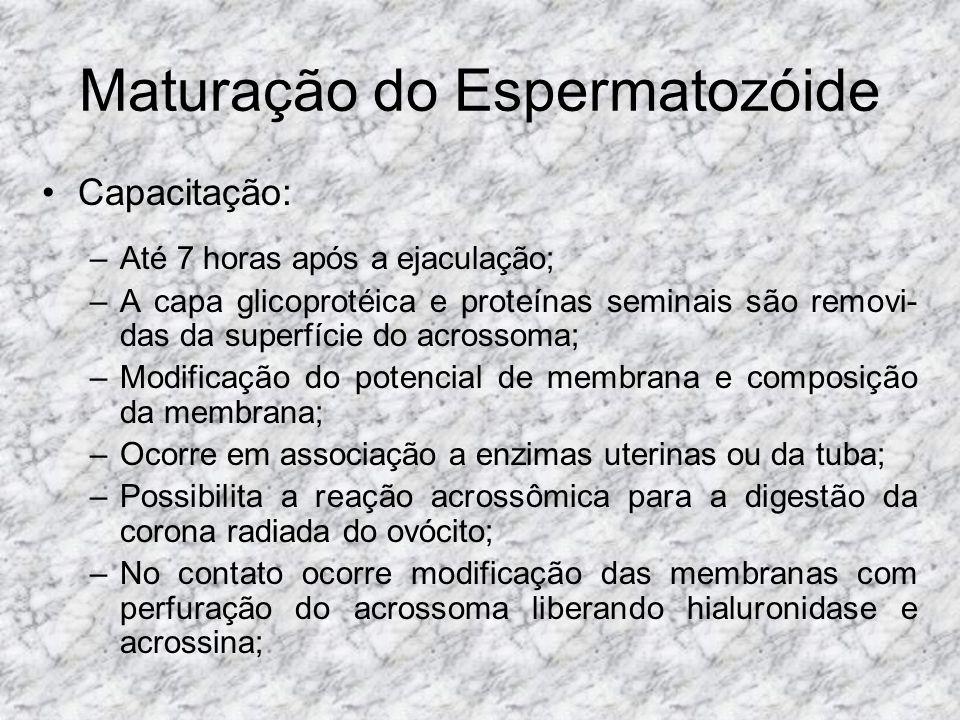 Maturação do Espermatozóide Capacitação: –Até 7 horas após a ejaculação; –A capa glicoprotéica e proteínas seminais são removi- das da superfície do a