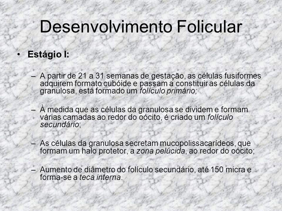 Desenvolvimento Folicular Estágio II: –Ocorre em apenas de 70 a 80 dias após a menarca; –Após o período médio de cada ciclo menstrual, um pequeno grupo de folículos secundários é recrutado; –As pequenas coleções de líquido folicular coalescem em uma única área central, o antro; –As células da granulosa continuam proliferando e desenvolvem entre si junções abertas, deslocam o oócito para uma posição excêntrica sobre uma haste, onde passa a ser circundado por uma camada de células da granulosa, que recebe a denominação de disco prolígero (cumulus oophorus); –surge a teca externa, folículo de De Graaf ou folículo antral