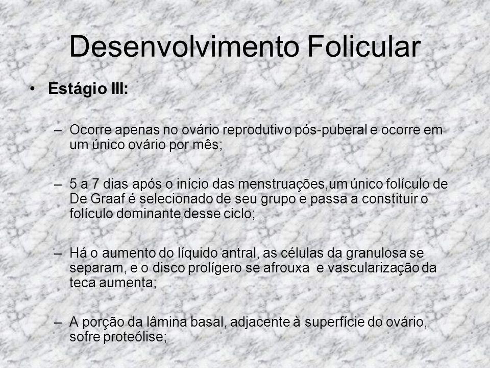 Desenvolvimento Folicular Estágio III: –O folículo rompe-se suavemente e lança o oócito, com seu disco prolígero aderido, no interior da cavidade peritoneal, nesse momento, a divisão meiótica inicial é completada; –O oócito secundário resultante é carreado para o interior da trompa; –A outra célula-filha, denominada primeiro corpúsculo polar, é descartada; –Na trompa de Falópio, a penetração de um espermatozóide faz com que seja completada a segunda divisão meiótica e produz o óvulo haplóide (23 cromossomos) e o segundo corpúsculo polar.