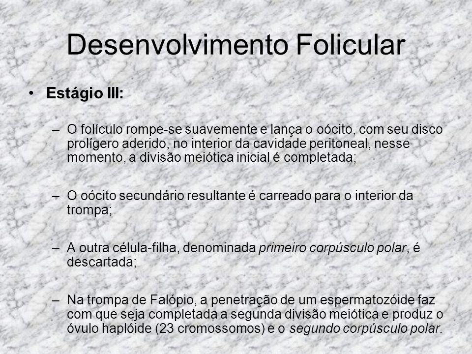 Desenvolvimento Folicular Estágio III: –O folículo rompe-se suavemente e lança o oócito, com seu disco prolígero aderido, no interior da cavidade peri