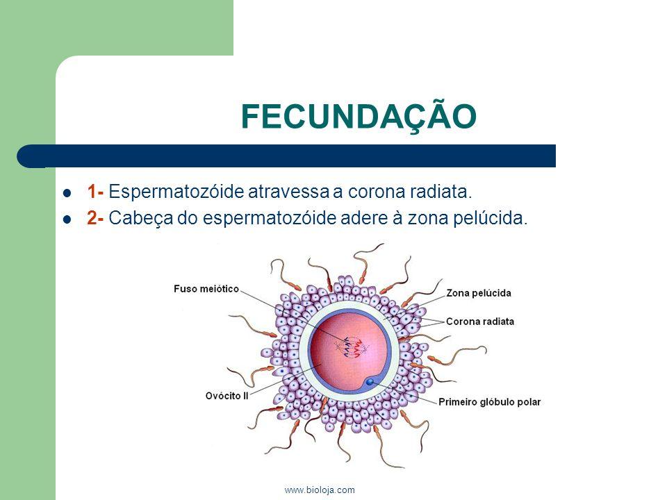 www.bioloja.com FECUNDAÇÃO 1- Espermatozóide atravessa a corona radiata. 2- Cabeça do espermatozóide adere à zona pelúcida.