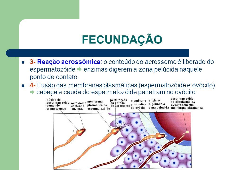 www.bioloja.com FECUNDAÇÃO 3- Reação acrossômica: o conteúdo do acrossomo é liberado do espermatozóide enzimas digerem a zona pelúcida naquele ponto d