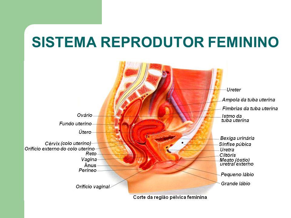 www.bioloja.com Vulva (Genitália Externa) Delimitada e protegida por duas pregas cutâneo-mucosas intensamente irrigadas e inervadas - os grandes lábios recobertos por pêlos pubianos na mulher reprodutivamente madura.