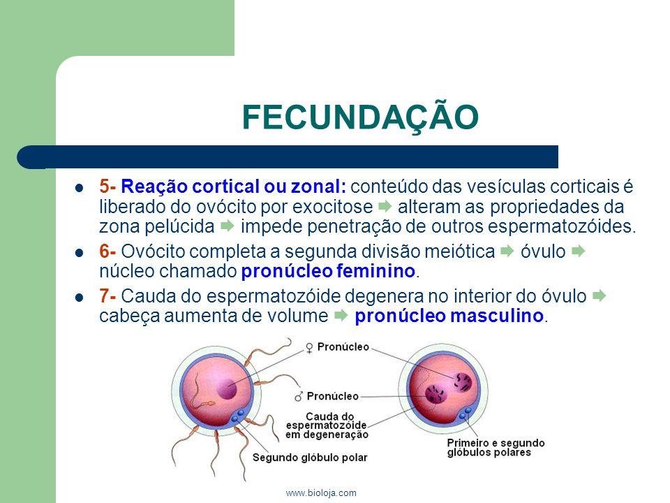 www.bioloja.com FECUNDAÇÃO 5- Reação cortical ou zonal: conteúdo das vesículas corticais é liberado do ovócito por exocitose alteram as propriedades d