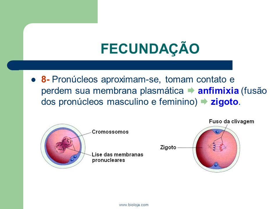 www.bioloja.com FECUNDAÇÃO 8- Pronúcleos aproximam-se, tomam contato e perdem sua membrana plasmática anfimixia (fusão dos pronúcleos masculino e femi