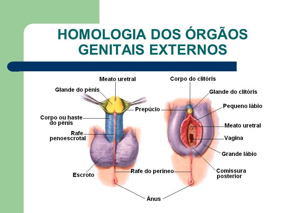 www.bioloja.com HOMOLOGIA DOS ÓRGÃOS GENITAIS EXTERNOS