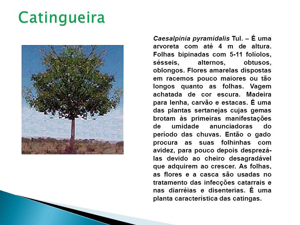 Caesalpinia pyramidalis Tul. – É uma arvoreta com até 4 m de altura. Folhas bipinadas com 5-11 folíolos, sésseis, alternos, obtusos, oblongos. Flores