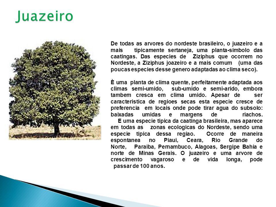 De todas as arvores do nordeste brasileiro, o juazeiro e a mais tipicamente sertaneja, uma planta-simbolo das caatingas. Das especies de Ziziphus que