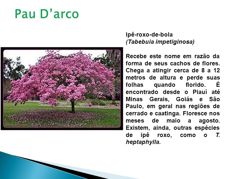Ipê-roxo-de-bola (Tabebuia impetiginosa) Recebe este nome em razão da forma de seus cachos de flores. Chega a atingir cerca de 8 a 12 metros de altura