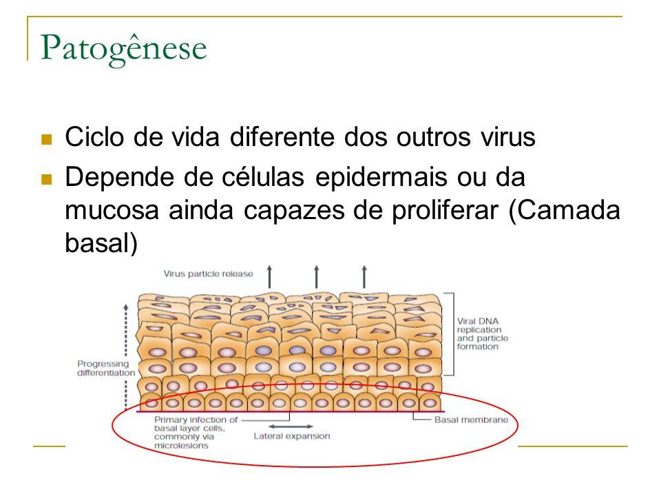 Patogênese Ciclo de vida diferente dos outros virus Depende de células epidermais ou da mucosa ainda capazes de proliferar (Camada basal)