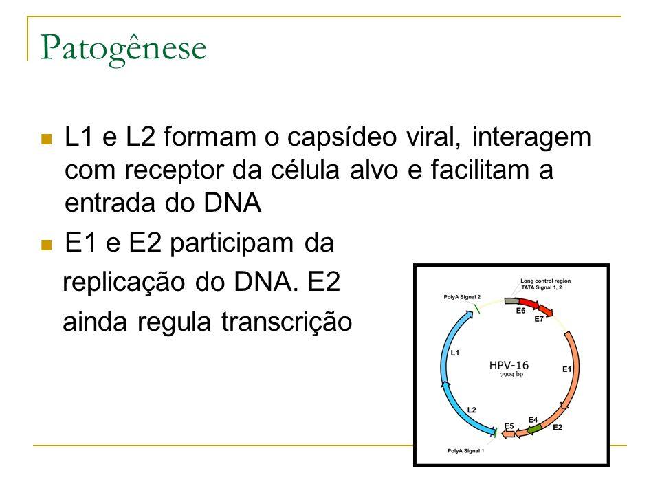 Patogênese L1 e L2 formam o capsídeo viral, interagem com receptor da célula alvo e facilitam a entrada do DNA E1 e E2 participam da replicação do DNA