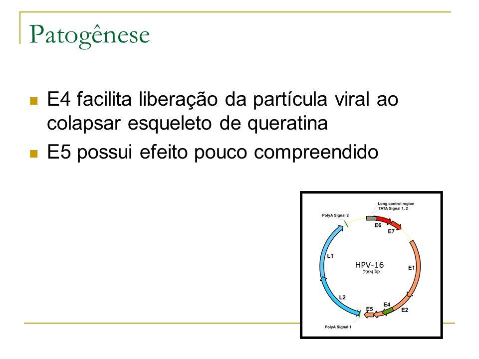 Patogênese E4 facilita liberação da partícula viral ao colapsar esqueleto de queratina E5 possui efeito pouco compreendido