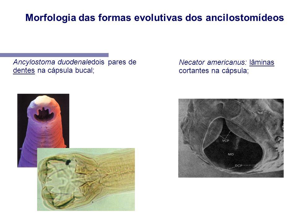 Ancylostoma duodenaledois pares de dentes na cápsula bucal; Necator americanus: lâminas cortantes na cápsula; Morfologia das formas evolutivas dos anc