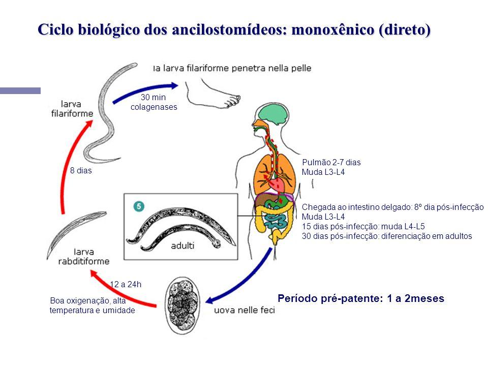 Ciclo biológico dos ancilostomídeos: monoxênico (direto) Boa oxigenação, alta temperatura e umidade 12 a 24h 8 dias 30 min colagenases Pulmão 2-7 dias