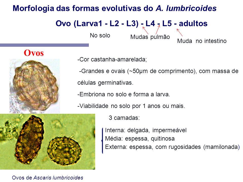 Ovos de Ascaris lumbricoides -Cor castanha-amarelada; -Grandes e ovais (~50µm de comprimento), com massa de células germinativas. -Embriona no solo e