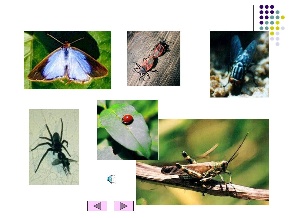 OS INSECTOS Características dos insectos Os insectos têm duas antenas e seis patas. Alguns insectos têm duas asas, como a mosca, e outros quatro asas,