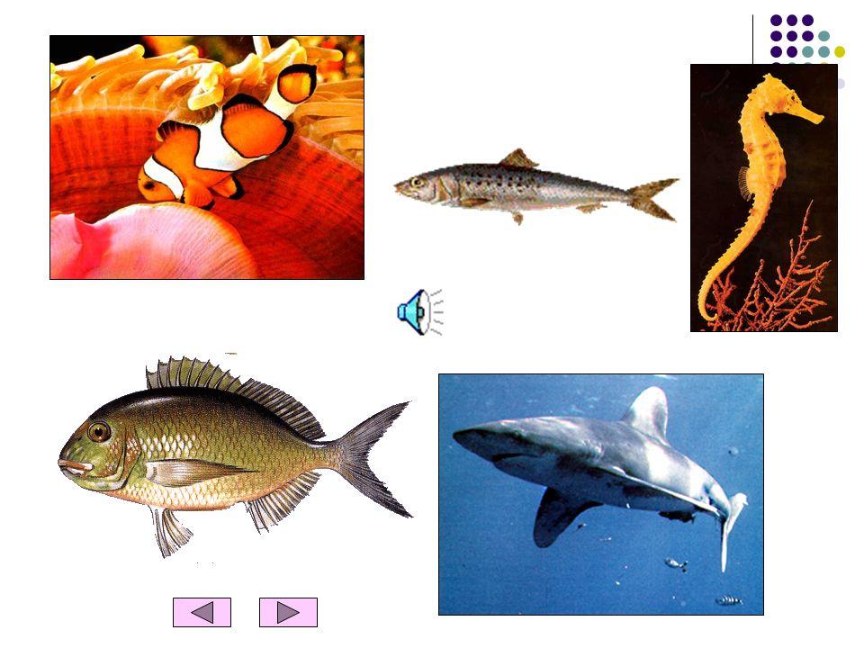 OS PEIXES Características dos peixes Os peixes vivem e respiram dentro da água. Nascem de ovos. Têm o corpo coberto de escamas. Para nadar, possuem ba