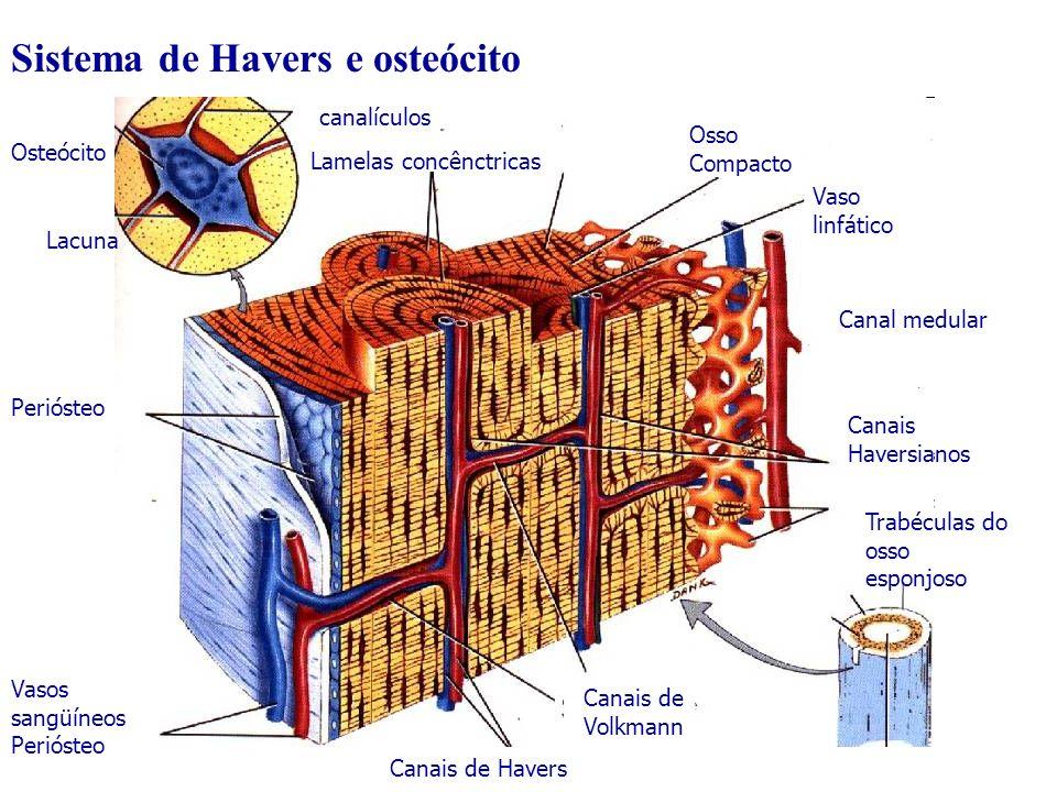 Sistema de Havers e osteócito Lamelas concênctricas canalículos Osso Compacto Vaso linfático Canal medular Canais Haversianos Trabéculas do osso espon