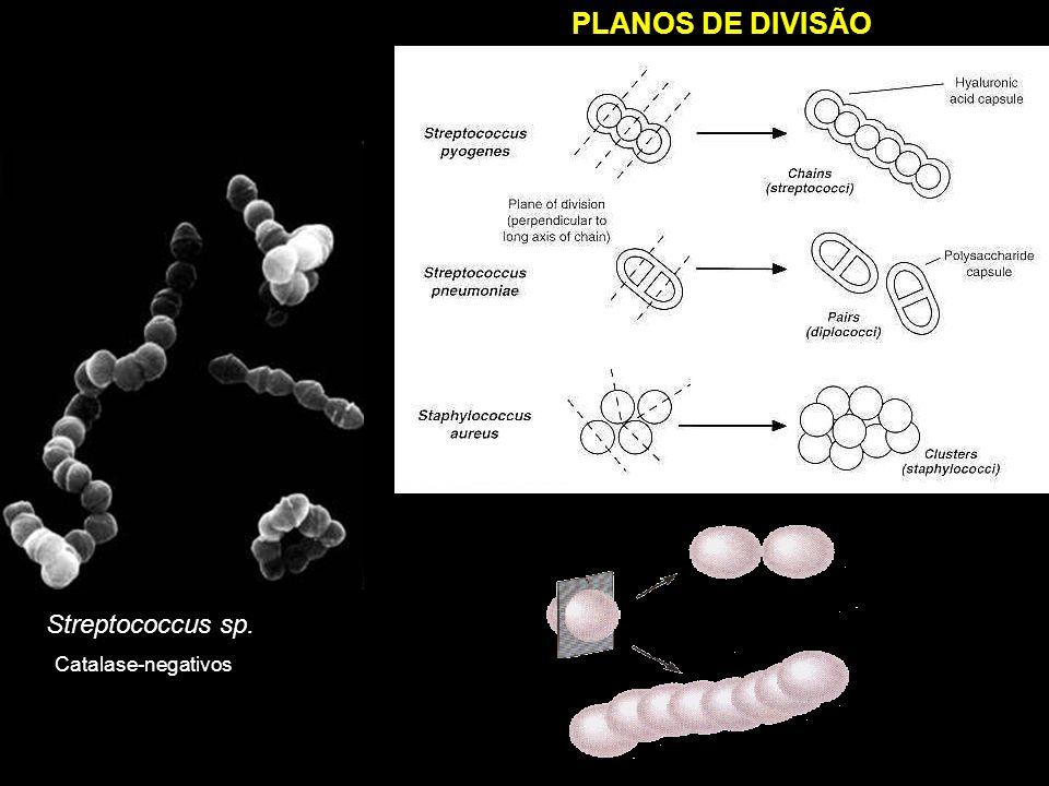 Streptococcus sp. PLANOS DE DIVISÃO Catalase-negativos