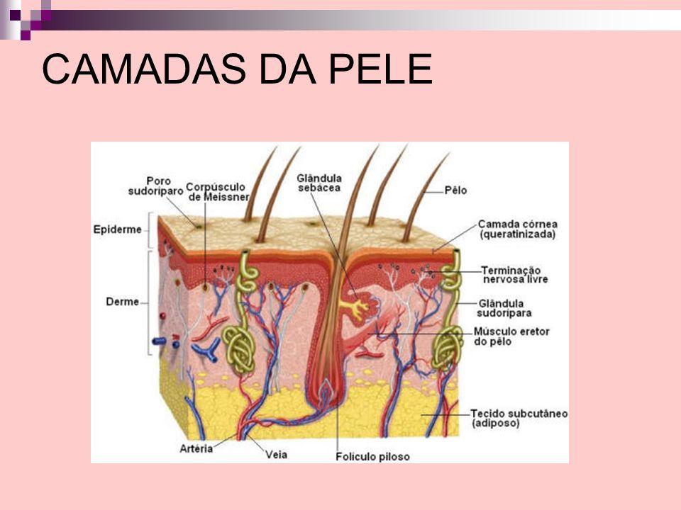 EPIDERME É a camada mais superficial da pele, cuja espessura varia desde 0,04mm nas pálpebras até 1,6mm nas regiões palmo-plantares (equivalente a uma folha de papel sulfite).