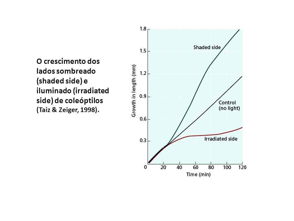 O crescimento dos lados sombreado (shaded side) e iluminado (irradiated side) de coleóptilos (Taiz & Zeiger, 1998).