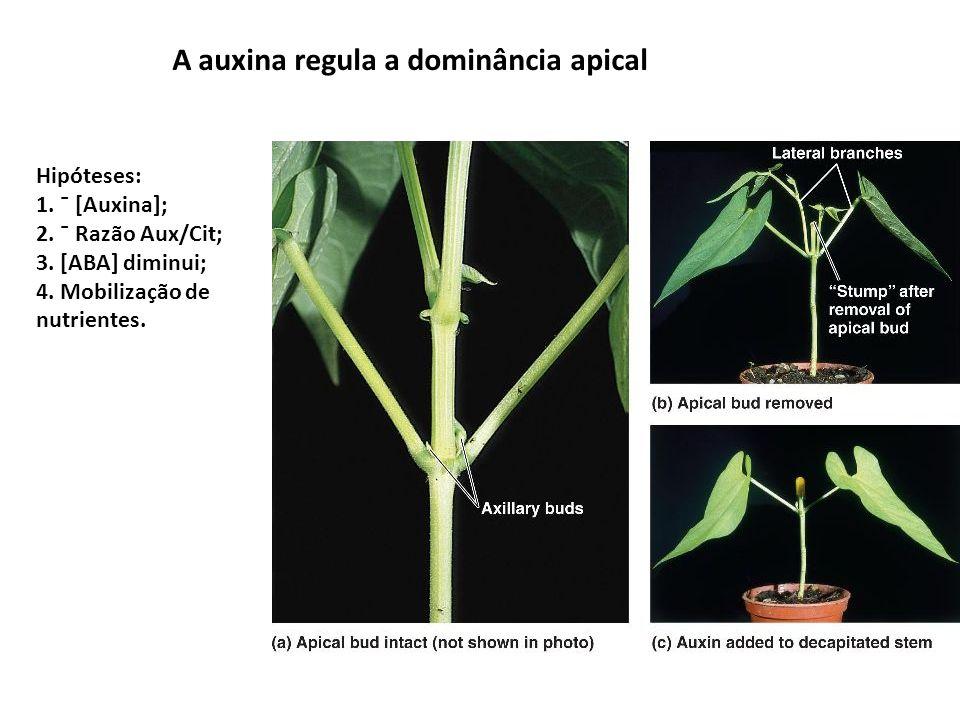 A auxina regula a dominância apical Hipóteses: 1. ¯ [Auxina]; 2. ¯ Razão Aux/Cit; 3. [ABA] diminui; 4. Mobilização de nutrientes.