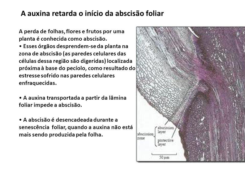 A auxina retarda o início da abscisão foliar A perda de folhas, flores e frutos por uma planta é conhecida como abscisão. Esses órgãos desprendem-se d