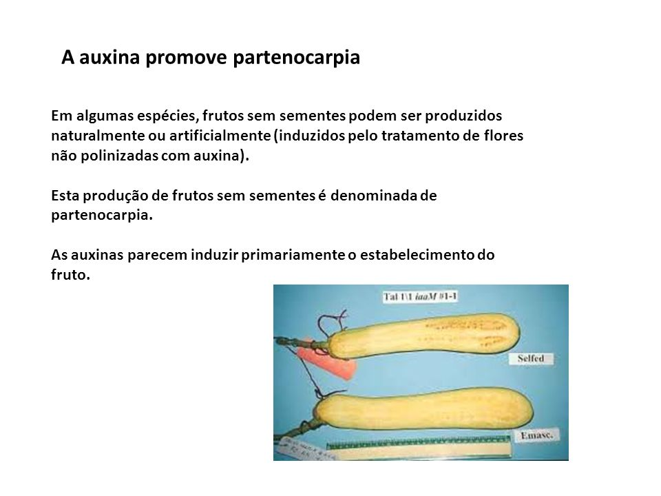 A auxina promove partenocarpia Em algumas espécies, frutos sem sementes podem ser produzidos naturalmente ou artificialmente (induzidos pelo tratament