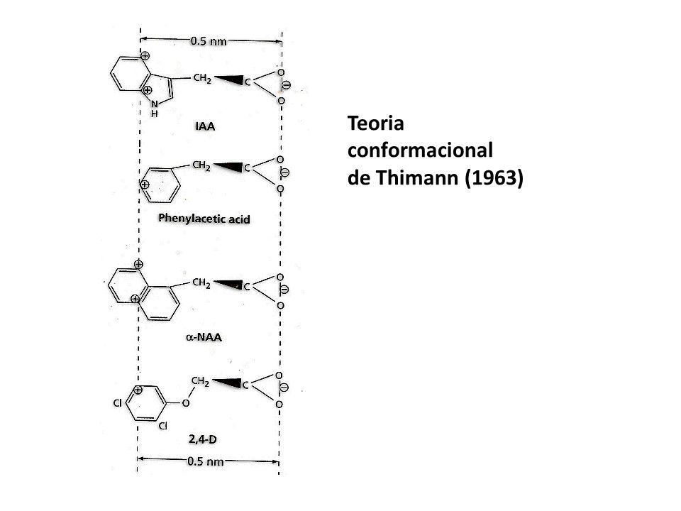 Teoria conformacional de Thimann (1963)
