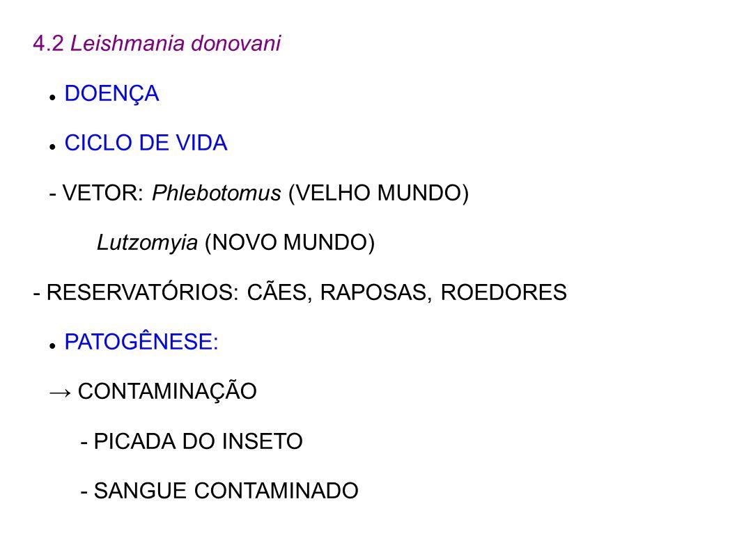 4.2 Leishmania donovani DOENÇA CICLO DE VIDA - VETOR: Phlebotomus (VELHO MUNDO) Lutzomyia (NOVO MUNDO) - RESERVATÓRIOS: CÃES, RAPOSAS, ROEDORES PATOGÊ