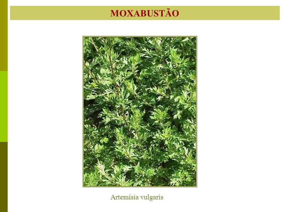 MOXABUSTÃO Artemísia vulgaris