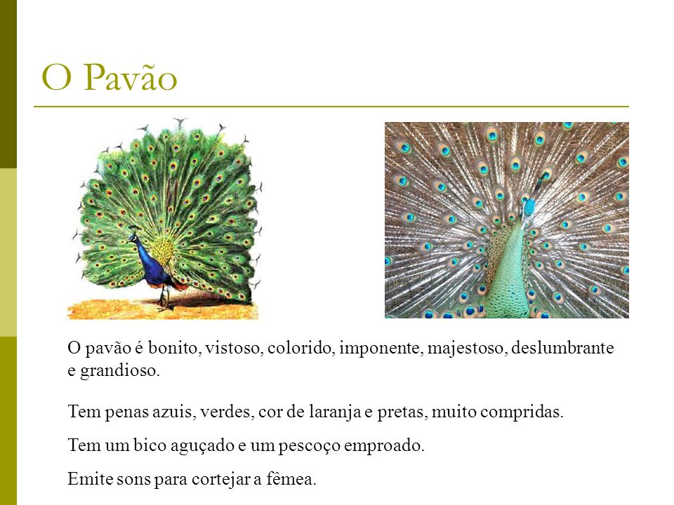 O pavão é bonito, vistoso, colorido, imponente, majestoso, deslumbrante e grandioso. O Pavão Tem penas azuis, verdes, cor de laranja e pretas, muito c