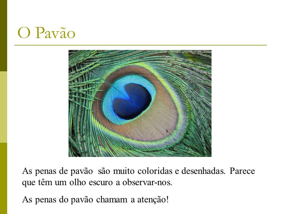 As penas de pavão são muito coloridas e desenhadas. Parece que têm um olho escuro a observar-nos. As penas do pavão chamam a atenção! O Pavão