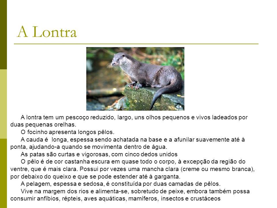 A lontra tem um pescoço reduzido, largo, uns olhos pequenos e vivos ladeados por duas pequenas orelhas. O focinho apresenta longos pêlos. A cauda é lo