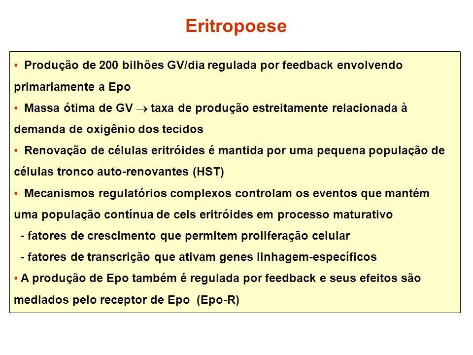 Produção de 200 bilhões GV/dia regulada por feedback envolvendo primariamente a Epo Massa ótima de GV taxa de produção estreitamente relacionada à dem