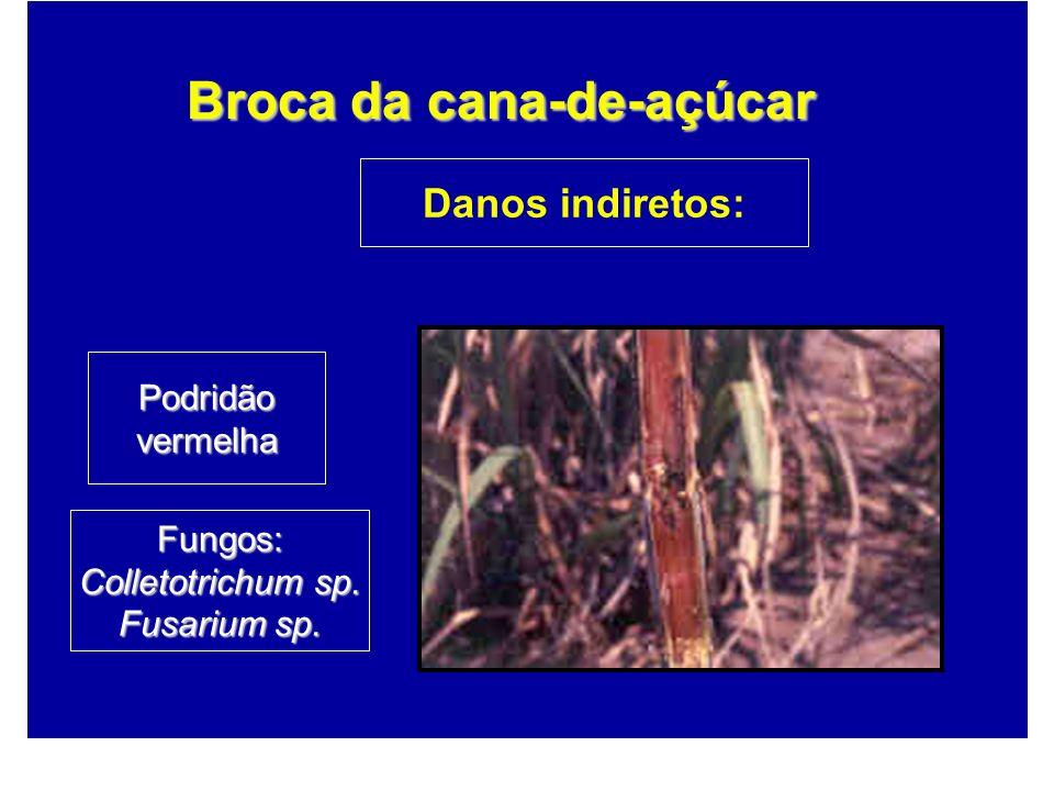 Podridãovermelha Danos indiretos: Fungos: Colletotrichum sp. Fusarium sp.