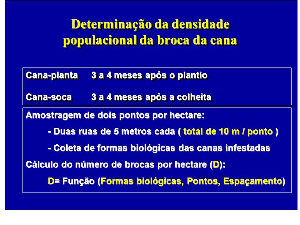 Determinação da densidade populacional da broca da cana Amostragem de dois pontos por hectare: - Duas ruas de 5 metros cada ( total de 10 m / ponto )