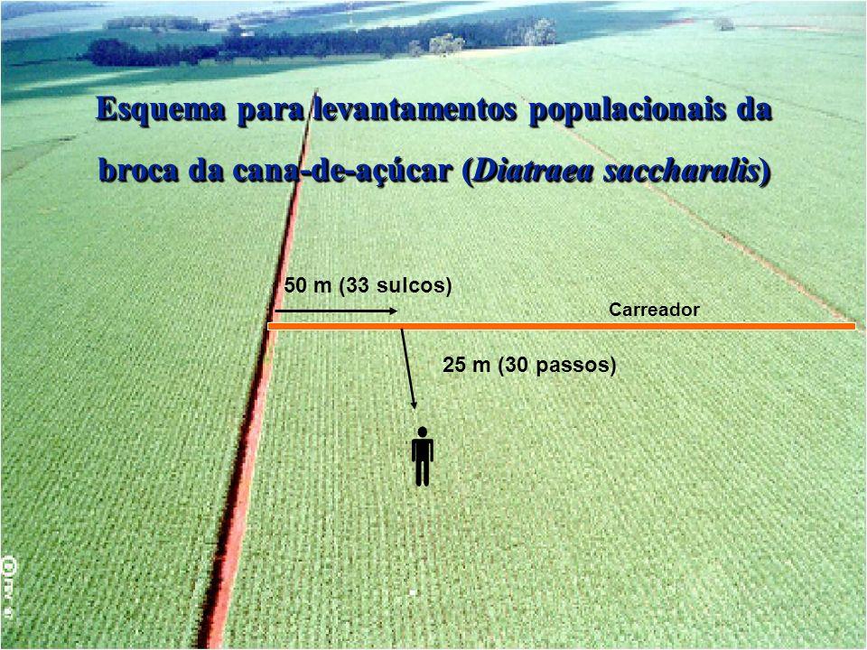 25 m (30 passos) 50 m (33 sulcos) Carreador Esquema para levantamentos populacionais da broca da cana-de-açúcar (Diatraea saccharalis)
