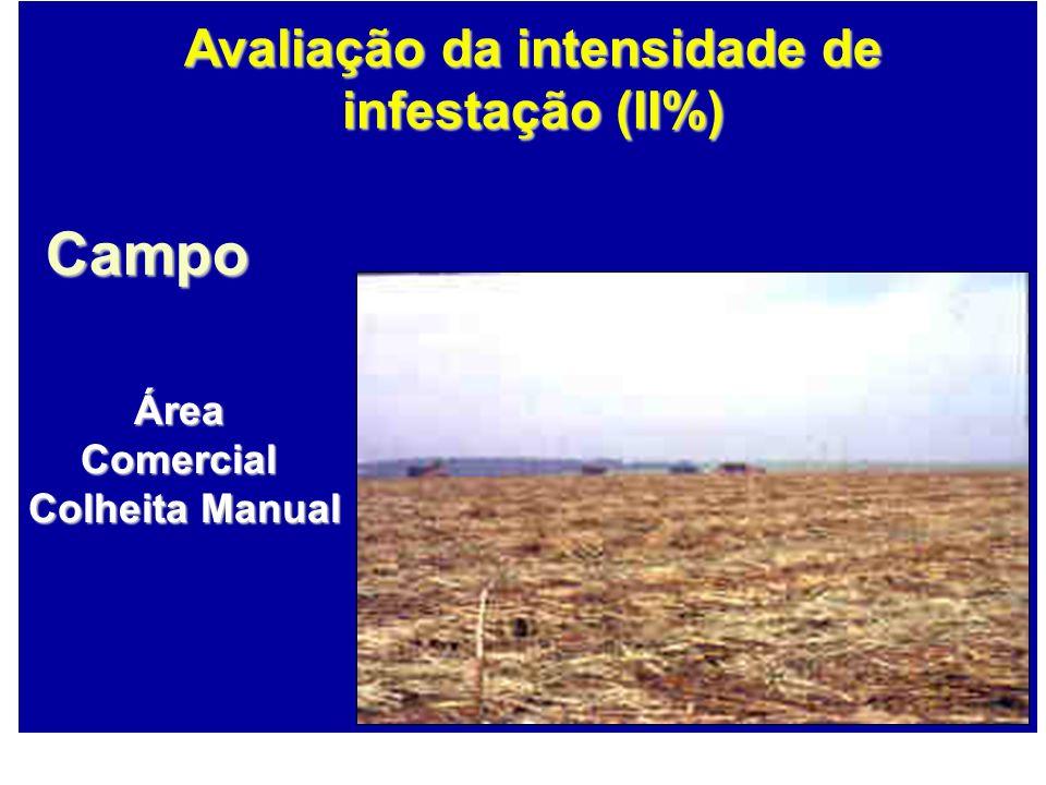 Campo ÁreaComercial Colheita Manual Colheita Manual Avaliação da intensidade de infestação (II%)