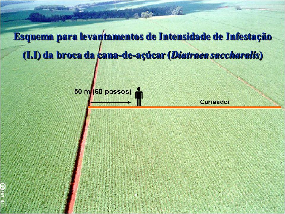 50 m (60 passos) Carreador Esquema para levantamentos de Intensidade de Infestação (I.I) da broca da cana-de-açúcar (Diatraea saccharalis)