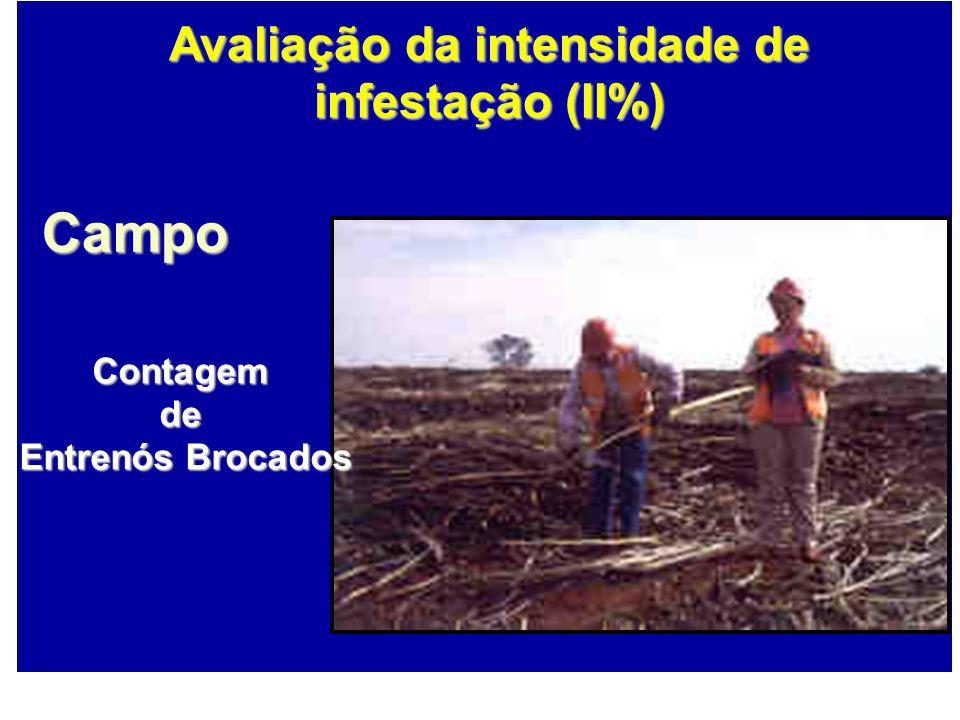 Campo Contagemde Entrenós Brocados Avaliação da intensidade de infestação (II%)