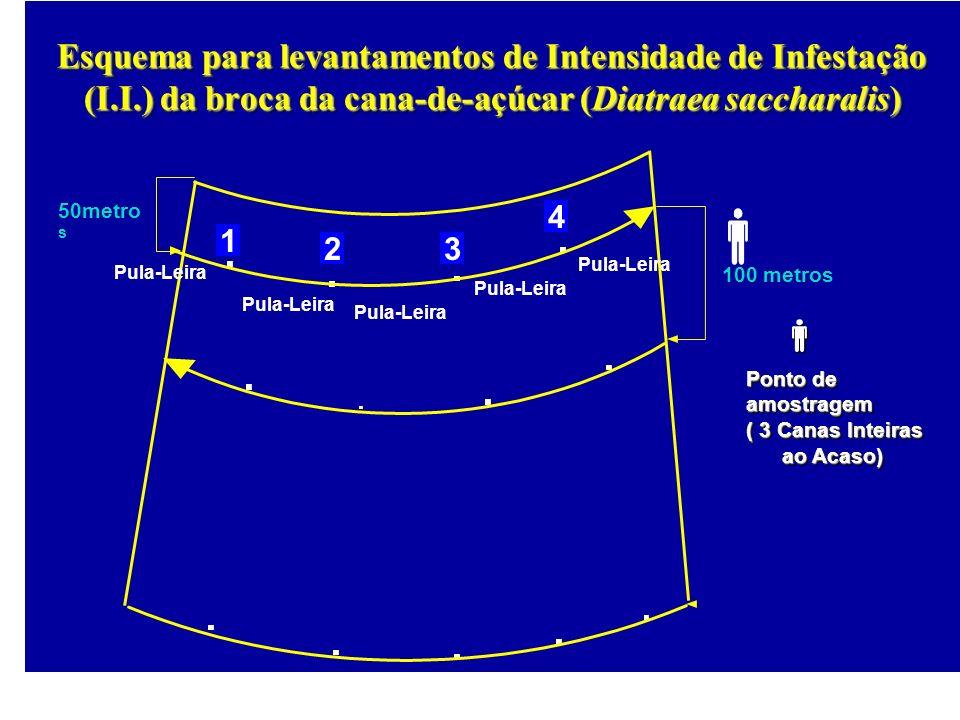 100 metros 50metro s 1 23 4 Pula-Leira Esquema para levantamentos de Intensidade de Infestação (I.I.) da broca da cana-de-açúcar (Diatraea saccharalis