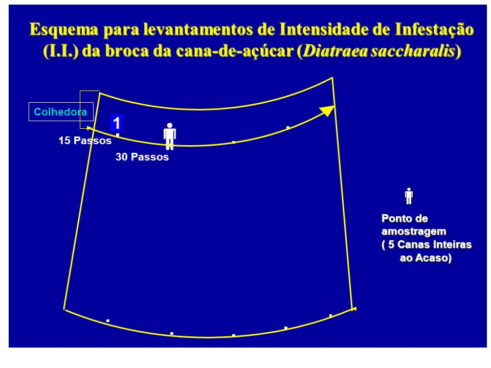 Colhedora 1 Esquema para levantamentos de Intensidade de Infestação (I.I.) da broca da cana-de-açúcar (Diatraea saccharalis) 15 Passos 30 Passos Ponto