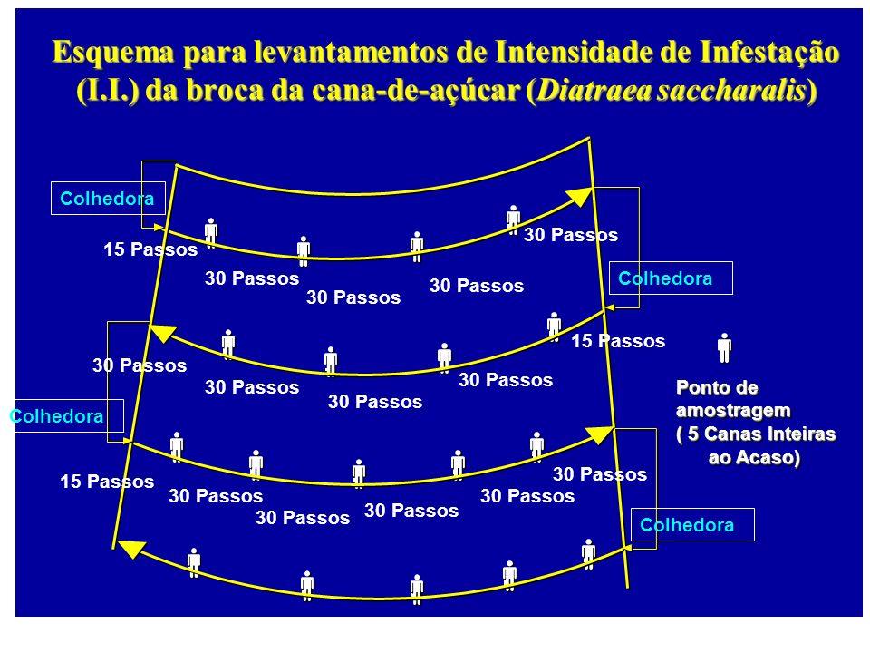 Esquema para levantamentos de Intensidade de Infestação (I.I.) da broca da cana-de-açúcar (Diatraea saccharalis) Colhedora Ponto de amostragem ( 5 Can