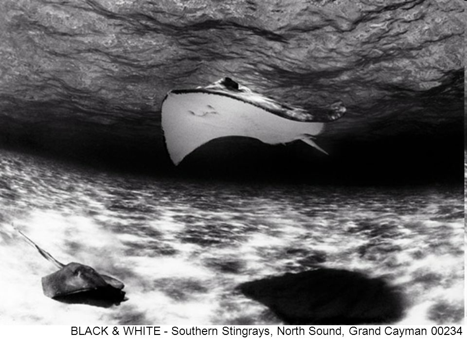 BLACK & WHITE - Southern Stingrays, North Sound, Grand Cayman 00234