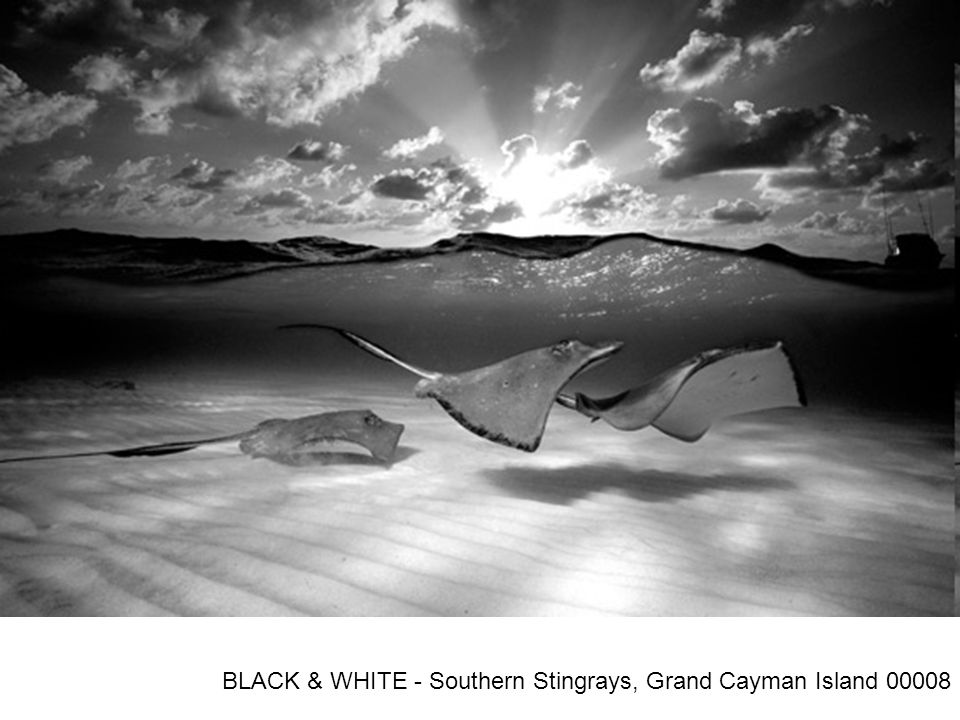 BLACK & WHITE - Southern Stingrays, Grand Cayman Island 00008
